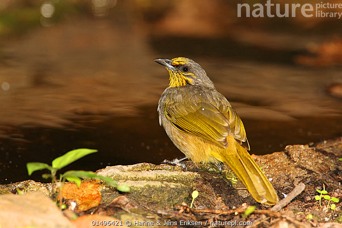 Stripe throated bulbul (Pycnonotus finlaysoni) on ground, Thailand, February  ,  ANIMAL,VERTEBRATE,BIRDS,SONGBIRD,BULBUL,STRIPE THROATED BULBUL,ANIMALIA,ANIMAL,WILDLIFE,VERTEBRATE,AVES,BIRDS,PASSERIFORMES,SONGBIRD,PASSERINE,PYCNONOTIDAE,BULBUL,PYCNONOTUS,ASIA,SOUTH EAST ASIA,THAILAND,ON GROUND,PYCNONOTUS FINLAYSONI,STRIPE THROATED BULBUL  ,  Hanne & Jens Eriksen