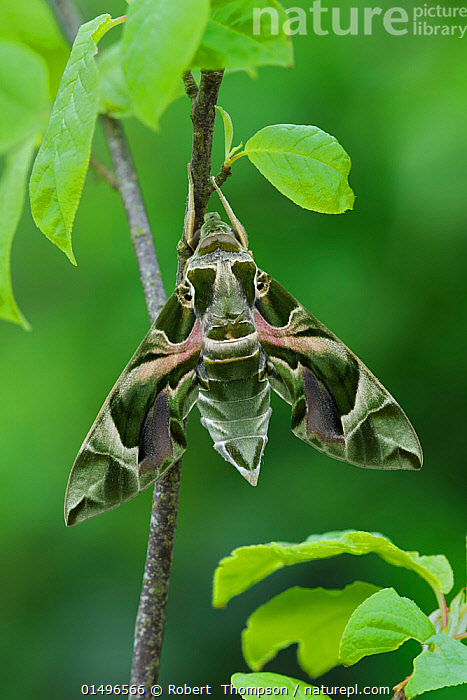 Oleander Hawkmoth (Daphnis nerii) resting, Southern Sicily, Italy. March., high15,,Animal,Arthropod,Insect,Sphingid,Oleander hawkmoth,Animalia,Animal,Wildlife,Hexapoda,Arthropod,Invertebrate,Hexapod,Arthropoda,Insecta,Insect,Lepidoptera,Lepidopterans,Sphingidae,Sphingid,Hawkmoth,Hawk moth,Sphinx moth,Hornworm,Moth,Daphnis,Daphnis nerii,Oleander hawkmoth,Oleander hawk moth,Army green moth,Silkmoth,Deilephila nerii,Sphinx nerii,Deilephila bipartita,Resting,Rest,Camouflage,Colour,Green,Nobody,Pattern,Patterned,Patterns,Europe,Southern Europe,Italy,Sicily,Vertical,Close Up,Plant,Leaf,Foliage,Stem,Wing,Wings,Outdoors,Open Air,Outside,Day,Nature,Natural,Natural World,Beauty In Nature,Animal marking,Green colour,, Robert  Thompson