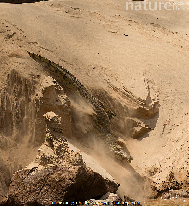 Nile crocodile (Crocodylus niloticus) making its way through sand  to the Rufiji River, Selous Game Reserve, Tanzania., high15,,Animal,Vertebrate,Reptile,Crocodilian,Crocodile,Nile crocodile,Animalia,Animal,Wildlife,Vertebrate,Reptilia,Reptile,Crocodylia,Crocodilian,Crocodilia,Crocodylidae,Crocodile,Crocodylus,Crocodylus niloticus,Nile crocodile,Crocodilus vulgaris,Crocodilus multiscutatus,Moving Down,Sinking,Slipping,Slip,Slips,Adversity,Difficult,Difficulty,On The Move,Speed,Nobody,Africa,East Africa,Tanzania,High Angle View,Sands,Flowing Water,River,Outdoors,Open Air,Outside,Day,Freshwater,Water,Elevated view,Moving,Sandy,Rufiji River,Selous Game Reserve,, Charlie  Summers