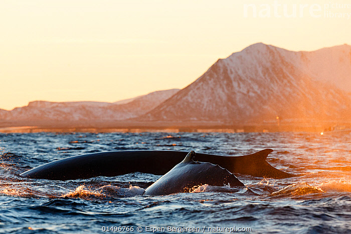 Fin whale (Balaenoptera physalus) and Humpback whale (Megaptera novaeangliae) feeding on herring near the surface, Andfjorden close to Andoya, Nordland, Northern Norway. January., ANIMAL,VERTEBRATE,MAMMAL,CETEACEAN,FIN WHALE,HUMPBACK WHALE,ANIMALIA,ANIMAL,WILDLIFE,VERTEBRATE,MAMMALIA,MAMMAL,CETACEA,CETEACEAN,BALAENOPTERA,BALAENOPTERA PHYSALUS,FIN WHALE,COMMON RORQUAL,FINBACK,FIN BACKED WHALE,FINNER,HERRING WHALE,RAZORBACK,MEGAPTERA,MEGAPTERA NOVAEANGLIAE,HUMPBACK WHALE,BUNCH,HUMP WHALE,HUNCHBACKED WHALE,MEGAPTERA NODOSA,MEGAPTERA LALANDII,MEGAPTERA LONGIMANA,ATMOSPHERIC MOOD,ATMOSPHERIC,EUROPE,NORTHERN EUROPE,NORTH EUROPE,NORDIC COUNTRIES,SCANDINAVIA,NORWAY,COPY SPACE,FIN,FINS,DORSAL FIN,DORSAL FINS,OCEAN,ATLANTIC OCEAN,NORWEGIAN SEA,NORSKEHAVET,COAST,MARINE,COASTAL,WATER,ANIMAL BEHAVIOUR,FEEDING,PREDATION,HUNTING,COLD WATER,MIXED SPECIES,BEHAVIOUR,SALTWATER,SURFACING,COLDWATER,NEGATIVE SPACE,SURFACE,ENDANGERED SPECIES,THREATENED,ENDANGERED,,Baleen whale,,Balaenopteridae,, Espen Bergersen