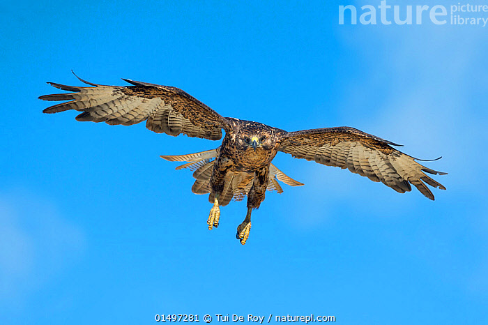 Galapagos hawk (Buteo galapagoensis) in flight, Galapagos, Ecuador. Vulnerable species., ANIMAL,VERTEBRATE,BIRDS,BUZZARD,GALAPAGOS HAWK,ANIMALIA,ANIMAL,WILDLIFE,VERTEBRATE,AVES,BIRDS,ACCIPITRIFORMES,ACCIPITRIDAE,BUTEO,BUZZARD,HAWK,BIRD OF PREY,RAPTOR,BUTEO GALAPAGOENSIS,GALAPAGOS HAWK,FLYING,LATIN AMERICA,SOUTH AMERICA,GALAPAGOS ISLANDS,GALAPAGOS,THE GALAPAGOS,THE GALAPAGOS ISLANDS,CUTOUT,FRONT VIEW,VIEW FROM FRONT,WING,WINGS,SKY,ENDEMIC,BIODIVERSITY HOTSPOTS,BIODIVERSITY HOTSPOT,FLIGHT,WINGS SPREAD,WINGSPAN,BLUE SKY,ENDANGERED SPECIES,THREATENED,VULNERABLE, Tui De Roy