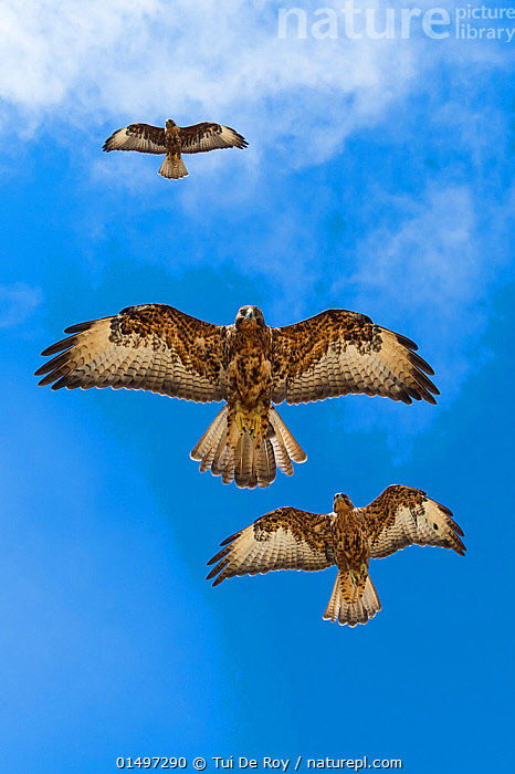 Galapagos hawks (Buteo galapagoensis) in flight, Galapagos, Ecuador. Vulnerable species.  ,  high15,,Animal,Vertebrate,Bird,Birds,Buzzard,Galapagos hawk,Animalia,Animal,Wildlife,Vertebrate,Aves,Bird,Birds,Accipitriformes,Accipitridae,Buteo,Buzzard,Hawk,Bird of prey,Raptor,Buteo galapagoensis,Galapagos hawk,Flying,Focus,Direction,Rebellion,Disobedience,Disobedient,Rebel,Rebellions,Rebels,Revolutionary,Threat,Menace,Menaces,Menacing,Threatening,Threats,Togetherness,Close,Together,Unity,Colour,Brown,Few,Three,Group,Nobody,Streamlined,Latin America,South America,Ecuador,Galapagos Islands,Galapagos,The Galapagos,The Galapagos Islands,Vertical,Low Angle View,Unusual Angle,Wide Angle,Wing,Wings,Sky,Outdoors,Open Air,Outside,Day,Nature,Natural,Natural World,Endangered Species,Threatened,Endemic,Biodiversity hotspot,Flight,Ventral view,Underside,Wings spread,Wingspan,Three Animals,Blue sky,Vulnerable species,Purpose,Focused,Brown Colour,Endangered species,threatened,Vulnerable  ,  Tui De Roy