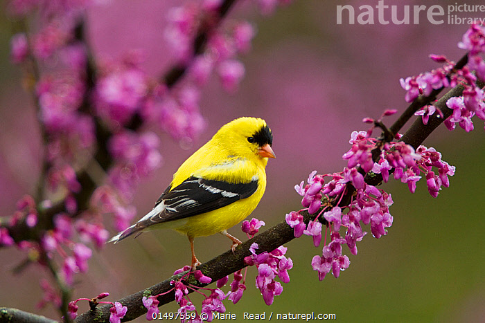 American goldfinch (Carduelis tristis) male in breeding plumage, perched in Eastern redbud flowers in spring, New York, USA May.  ,  high15,,Animal,Vertebrate,Bird,Birds,Songbird,True finch,Cardueline finch,American goldfinch,American,Animalia,Animal,Wildlife,Vertebrate,Aves,Bird,Birds,Passeriformes,Songbird,Passerine,Fringillidae,True finch,Finch,Carduelis,Cardueline finch,Carduelinae,Carduelis tristis,American goldfinch,Eastern goldfinch,Fringilla tristis,Glance,Glances,Glancing,Look Away,Looks Away,Suspicion,Colour,Pink,Purple,Yellow,Colourful,Colorful,Nobody,Vibrant Colour,North America,USA,Eastern USA,Mid-Atlantic US,New York,Close Up,Male Animal,Plant,Branch,Branches,Flower,Flowers,Blossom,Outdoors,Open Air,Outside,Day,Colour-phases,Breeding plumage,American,Yellow Colour,Bandit,United States of America,  ,  Marie  Read