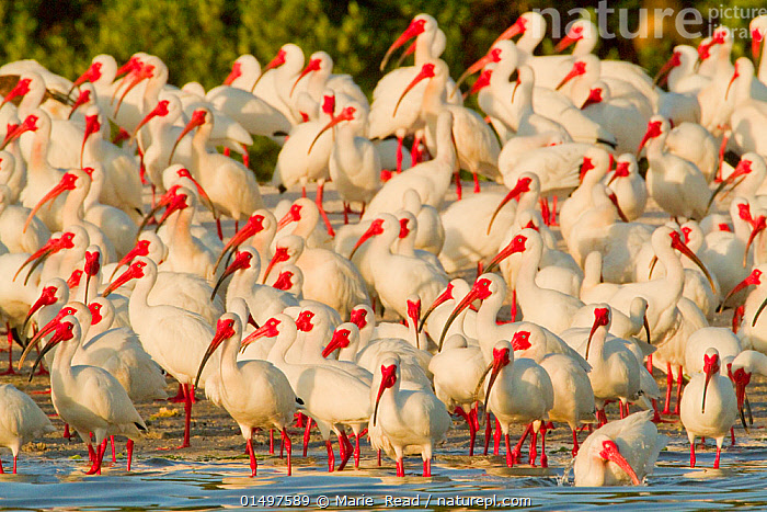 Flock of White ibis (Eudocimus albus) in breeding plumage, at rookery on water's edge of the mangrove-covered island, Tampa Bay, Florida, USA, March, catalogue7,,Animal,Vertebrate,Bird,Birds,Ibis,White ibis,American,Animalia,Animal,Wildlife,Vertebrate,Aves,Bird,Birds,Pelecaniformes,Threskiornithidae,Eudocimus,Ibis,Ibe,Ibide,Threskiornithinae,Eudocimus albus,White ibis,American white ibis,Standing,Alertness,Alert,Anticipation,Anxiety,Fear,Togetherness,Close,Together,Unity,Colour,Orange,White,Group Of Animals,Flock,Flocking,Flocks,Rookeries,Group,Large Group,Nobody,North America,USA,Southern USA,Southeast US,Florida,Water's Edge,Outdoors,Open Air,Outside,Day,Wetland,Swamp,Water,Colour-phases,Breeding plumage,White colour,American,Tampa Bay,, Marie  Read