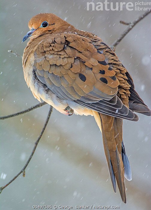 Mourning Dove (Zenaida macroura) perched on branch in snow, Acadia National Park, Maine, USA, February., high15,,Animal,Vertebrate,Bird,Birds,Dove,Mourning dove,American,Animalia,Animal,Wildlife,Vertebrate,Aves,Bird,Birds,Columbiformes,Dove,Pigeon,Columbidae,Zenaida,Zenaida macroura,Mourning dove,Carolina dove,American mouring dove,Alertness,Alert,Resilience,Resilient,Colour,Brown,Nobody,Temperature,Cold,North America,USA,Eastern USA,New England,Maine,Profile,Close Up,Side View,Plant,Twig,Sprig,Sprigs,Twigs,Feather,Feathers,Snow,Weather,Snowing,Snowfall,Outdoors,Open Air,Outside,Winter,Day,Animal Behaviour,Thermoregulation,Reserve,Ruffled feathers,Puffed up,Behaviour,Protected area,National Park,Plumage,Acadia National Park,American,Brown Colour,United States of America,, George  Sanker