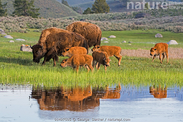 American Buffalo or Bison (Bison bison) group with calves, Yellowstone National Park, Wyoming, USA, May, high15,,Animal,Vertebrate,Mammal,Bovid,Bison,American Bison,American,Animalia,Animal,Wildlife,Vertebrate,Mammalia,Mammal,Artiodactyla,Even-toed ungulates,Bovidae,Bovid,ruminantia,Ruminant,Bison,Bison bison,American Bison,American buffalo,Togetherness,Close,Together,Group Of Animals,Herd,Herds,Group,Medium Group,Nobody,North America,USA,Western USA,Wyoming,Young Animal,Juvenile,Babies,Baby Mammal,Calf,Reflection,Water's Edge,Outdoors,Open Air,Outside,Day,Freshwater,Lake,Water,Feeding,Grazing,Reserve,Adult,Family,Protected area,National Park,Lakeside,Medium group of animals,Yellowstone National Park,American,United States of America,, George  Sanker