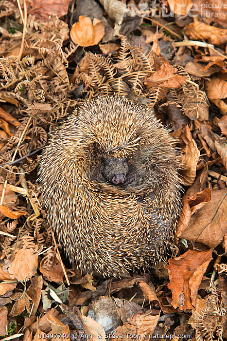Hedgehog (Erinaceus europaeus) curled up sleeping in autumn leaves, UK, June, captive., high15,,Animal,Vertebrate,Mammal,Hedgehog,Northern Hedgehog,Animalia,Animal,Wildlife,Vertebrate,Mammalia,Mammal,Erinaceomorpha,Erinaceidae,Hedgehog,Erinaceus,Erinaceus europaeus,Northern Hedgehog,Western European Hedgehog,Western Hedgehog,Resting,Rest,Sleeping,Oblivious,Obliviousness,Unaware,Unawareness,Unawares,Colour,Brown,Nobody,Spike,Spiked,Spikes,Spikey,Spiky,Europe,Western Europe,UK,Vertical,Close Up,High Angle View,Plant,Leaf,Foliage,Outdoors,Open Air,Outside,Autumn,Autumnal,Fall,Day,Nature,Natural,Natural World,Animal Behaviour,Hibernating,Forest,Behaviour,Hibernation,Elevated view,Curled up,Hues,Fallen Leaves,Prickly,Brown Colour, Ann  & Steve Toon