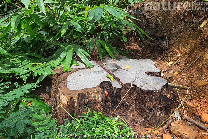 Stump of Siam rosewood tree (Dalbergia cochinchinensis) felled by poachers, Thap Lan National Park, Dong Phayayen-Khao Yai Forest Complex, eastern Thailand, August., PLANT,VASCULAR PLANT,FLOWERING PLANT,ROSID,LEGUME,INDIAN ROSEWOOD,SIAMESE ROSEWOOD,PLANTAE,PLANT,TRACHEOPHYTA,VASCULAR PLANT,MAGNOLIOPSIDA,FLOWERING PLANT,ANGIOSPERM,SEED PLANT,SPERMATOPHYTE,SPERMATOPHYTINA,ANGIOSPERMAE,FABALES,ROSID,DICOT,DICOTYLEDON,ROSANAE,FABACEAE,LEGUME,PEA,BEAN,LEGUMINOSAE,DALBERGIA,INDIAN ROSEWOOD,ILLEGAL,ASIA,SOUTH EAST ASIA,THAILAND,TREE STUMP,ENVIRONMENT,ENVIRONMENTAL ISSUES,ENVIRONMENTAL DAMAGE,NATURAL RESOURCES,FOREST,CONSERVATION,POACHING,WILDLIFE CONSERVATION,CONSERVATION ISSUES,PROTECTED AREA,UNESCO WORLD HERITAGE SITE,UNESCO,HERITAGE SITE,WORLD HERITAGE SITE,WILDLIFE CRIME,DALBERGIA COCHINCHINENSIS,SIAMESE ROSEWOOD,THAILAND ROSEWOOD,SIAM ROSEWOOD,THAI ROSEWOOD,TRACWOOD, Ann  & Steve Toon
