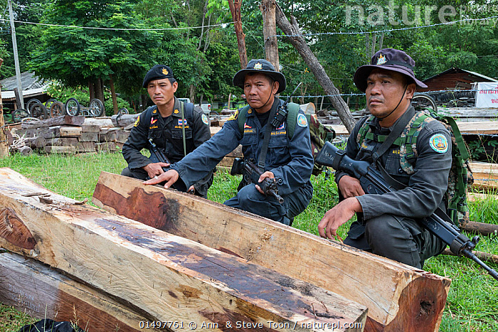 Thap Lan anti-poaching rangers with Siam rosewood tree (Dalbergia cochinchinensis) timber  confiscated from poachers, Thap Lan National Park, Dong Phayayen-Khao Yai Forest Complex, eastern Thailand, August, 2014., PLANT,VASCULAR PLANT,FLOWERING PLANT,ROSID,LEGUME,INDIAN ROSEWOOD,SIAMESE ROSEWOOD,PLANTAE,PLANT,TRACHEOPHYTA,VASCULAR PLANT,MAGNOLIOPSIDA,FLOWERING PLANT,ANGIOSPERM,SEED PLANT,SPERMATOPHYTE,SPERMATOPHYTINA,ANGIOSPERMAE,FABALES,ROSID,DICOT,DICOTYLEDON,ROSANAE,FABACEAE,LEGUME,PEA,BEAN,LEGUMINOSAE,DALBERGIA,INDIAN ROSEWOOD,PEOPLE,ILLEGAL,ASIA,SOUTH EAST ASIA,THAILAND,LOG,LOGS,WOOD,WOODEN,TIMBER,BOARD,BOARDS,PLANKS,ENVIRONMENT,ENVIRONMENTAL ISSUES,ENVIRONMENTAL DAMAGE,NATURAL RESOURCES,FOREST,CONSERVATION,POACHING,WILDLIFE CONSERVATION,CONSERVATION ISSUES,PROTECTED AREA,UNESCO WORLD HERITAGE SITE,UNESCO,HERITAGE SITE,WORLD HERITAGE SITE,WILDLIFE CRIME,CONFISCATED,DALBERGIA COCHINCHINENSIS,SIAMESE ROSEWOOD,THAILAND ROSEWOOD,SIAM ROSEWOOD,THAI ROSEWOOD,TRACWOOD, Ann  & Steve Toon