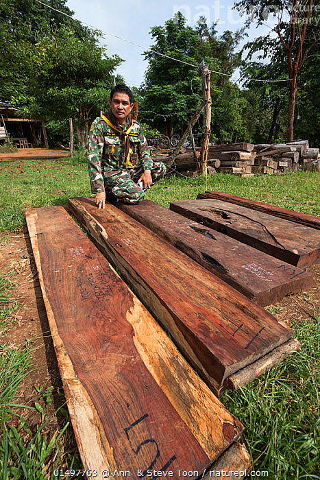 Thap Lan assistant chief Pattarapol Sunhua with Siam rosewood tree (Dalbergia cochinchinensis) timber confiscated from poachers, Thap Lan National Park, Dong Phayayen-Khao Yai Forest Complex, eastern Thailand, August, 2014., PLANT,VASCULAR PLANT,FLOWERING PLANT,ROSID,LEGUME,INDIAN ROSEWOOD,SIAMESE ROSEWOOD,PLANTAE,PLANT,TRACHEOPHYTA,VASCULAR PLANT,MAGNOLIOPSIDA,FLOWERING PLANT,ANGIOSPERM,SEED PLANT,SPERMATOPHYTE,SPERMATOPHYTINA,ANGIOSPERMAE,FABALES,ROSID,DICOT,DICOTYLEDON,ROSANAE,FABACEAE,LEGUME,PEA,BEAN,LEGUMINOSAE,DALBERGIA,INDIAN ROSEWOOD,PEOPLE,ILLEGAL,ASIA,SOUTH EAST ASIA,THAILAND,VERTICAL,LOG,LOGS,WOOD,WOODEN,TIMBER,BOARD,BOARDS,PLANKS,ENVIRONMENT,ENVIRONMENTAL ISSUES,ENVIRONMENTAL DAMAGE,NATURAL RESOURCES,FOREST,CONSERVATION,POACHING,WILDLIFE CONSERVATION,CONSERVATION ISSUES,PROTECTED AREA,UNESCO WORLD HERITAGE SITE,UNESCO,HERITAGE SITE,WORLD HERITAGE SITE,WILDLIFE CRIME,CONFISCATED,DALBERGIA COCHINCHINENSIS,SIAMESE ROSEWOOD,THAILAND ROSEWOOD,SIAM ROSEWOOD,THAI ROSEWOOD,TRACWOOD, Ann  & Steve Toon