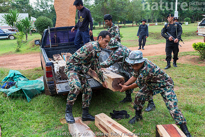 Thap Lan rangers unloading Siam rosewood tree (Dalbergia cochinchinensis) timber confiscated from poachers, Thap Lan National Park, Dong Phayayen-Khao Yai Forest Complex, eastern Thailand, August, 2014., PLANT,VASCULAR PLANT,FLOWERING PLANT,ROSID,LEGUME,INDIAN ROSEWOOD,SIAMESE ROSEWOOD,PLANTAE,PLANT,TRACHEOPHYTA,VASCULAR PLANT,MAGNOLIOPSIDA,FLOWERING PLANT,ANGIOSPERM,SEED PLANT,SPERMATOPHYTE,SPERMATOPHYTINA,ANGIOSPERMAE,FABALES,ROSID,DICOT,DICOTYLEDON,ROSANAE,FABACEAE,LEGUME,PEA,BEAN,LEGUMINOSAE,DALBERGIA,INDIAN ROSEWOOD,UNLOADING,PEOPLE,ILLEGAL,ASIA,SOUTH EAST ASIA,THAILAND,LOG,LOGS,LAND VEHICLE,MOTOR VEHICLE,WOOD,WOODEN,TIMBER,BOARD,BOARDS,PLANKS,ENVIRONMENT,ENVIRONMENTAL ISSUES,ENVIRONMENTAL DAMAGE,NATURAL RESOURCES,FOREST,CONSERVATION,POACHING,WILDLIFE CONSERVATION,CONSERVATION ISSUES,PROTECTED AREA,UNESCO WORLD HERITAGE SITE,UNESCO,HERITAGE SITE,WORLD HERITAGE SITE,WILDLIFE CRIME,CONFISCATED,DALBERGIA COCHINCHINENSIS,SIAMESE ROSEWOOD,THAILAND ROSEWOOD,SIAM ROSEWOOD,THAI ROSEWOOD,TRACWOOD, Ann  & Steve Toon