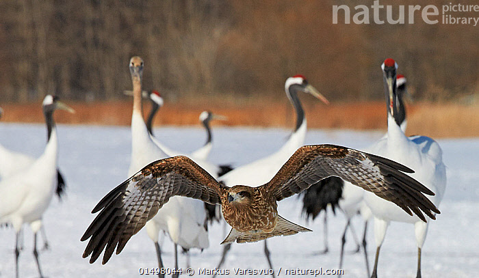 Black kite (Milvus migrans) flying and red-crowned crane (Grus japonensis) on snow, Hokkaido, Japan, February.  ,  high15,,Animal,Vertebrate,Bird,Birds,Crane,Japanese crane,Kite,Black kite,Animalia,Animal,Wildlife,Vertebrate,Aves,Bird,Birds,Gruiformes,Gruidae,Crane,Grus,Grus japonensis,Japanese crane,Red crowned crane,Manchurian crane,Accipitriformes,Accipitridae,Milvus,Kite,Bird of prey,Raptor,Milvus migrans,Black kite,Flying,Moving Past,Pass,Passing,Passes,Contrasts,Ignorance,Ignorant,Overlooking,Group,Medium Group,Nobody,Temperature,Cold,Asia,East Asia,Japan,Hokkaido,Camera Focus,Selective Focus,Focus On Foreground,Focus On Foregrounds,Wing,Wings,Snow,Outdoors,Open Air,Outside,Winter,Day,Freshwater,Lake,Water,Mixed species,Flight,Wings spread,Wingspan,Medium group of animals,Shallow depth of field,Low depth of field,Odd one Out,Grus japonicus,Endangered species,threatened,Endangered  ,  Markus Varesvuo