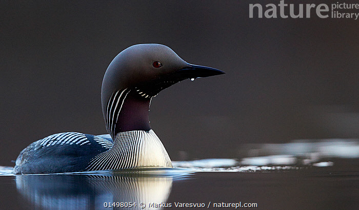 Black-throated diver (Gavia arctica) on water, Finland, May.  ,  high15,,Animal,Vertebrate,Bird,Birds,Diver,Black throated diver,Animalia,Animal,Wildlife,Vertebrate,Aves,Bird,Birds,Gaviiformes,Gaviidae,Diver,Loon,Gavia,Gavia arctica,Black throated diver,Arctic loon,Black throated loon,Swimming,Waiting,Alertness,Alert,Intelligence,Nobody,Pattern,Patterned,Patterns,Stripes,Europe,Northern Europe,North Europe,Nordic Countries,Finland,Profile,Black And White,B/W,Monochromatic,Side View,Animal Necks,Neck,Necks,Reflection,Liquid,Liquids,Droplet,Drips,Drop,Droplets,Drops,Outdoors,Open Air,Outside,Day,Freshwater,Water,  ,  Markus Varesvuo