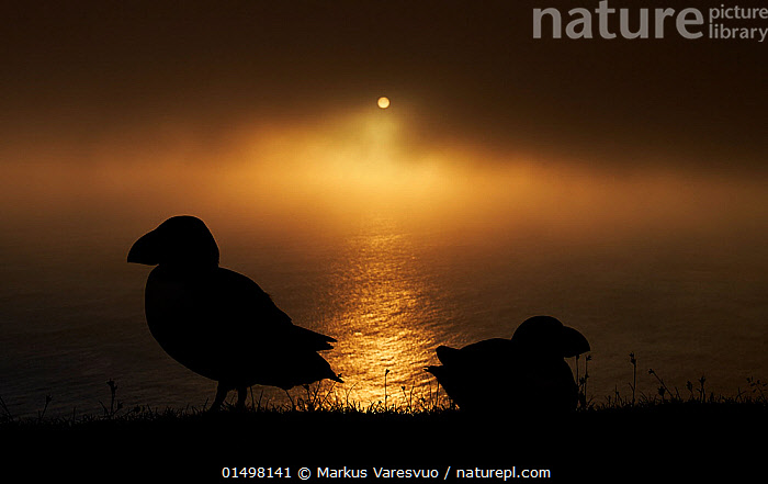 Puffin (Fratercula arctica) silhouetted at sunset, Shetland Islands, Scotland, UK, July., high15,,Animal,Vertebrate,Bird,Birds,Auk,Puffin,Atlantic puffin,Animalia,Animal,Wildlife,Vertebrate,Aves,Bird,Birds,Charadriiformes,Alcidae,Auk,Seabird,Fratercula,Puffin,Fratercula arctica,Atlantic puffin,Common puffin,Ignoring,Ignore,Atmospheric Mood,Atmospheric,Mystery,Mysterious,The End,Closure,Closures,Colour,Yellow,Back To Back,Two,Nobody,Dark,Darkness,Europe,Western Europe,UK,Great Britain,Scotland,Shetland,Profile,Side View,Back Lit,Backlit,Cliff,Reflection,Mist,Sunset,Setting Sun,Sunsets,Outdoors,Open Air,Outside,Night,Relationship Difficulties,Separating,Coast,Marine,Coastal,Water,Silhouette,Saltwater,Sea,Dusk,View to sea,Two animals,Cliff Top,Yellow Colour,Seabird,Seabirds,Marine bird,Marine birds,Pelagic bird,Pelagic birds, Markus Varesvuo