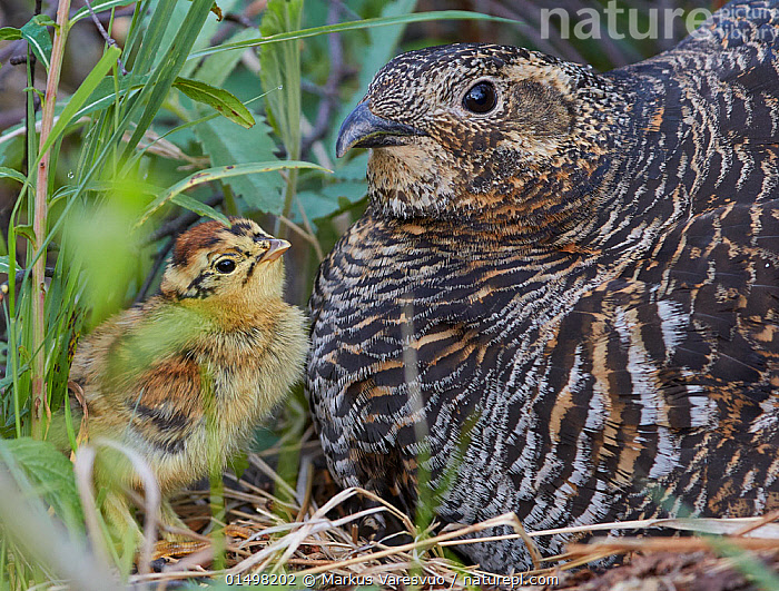 Black grouse (lyrurus tetrix) female and chick at nest, Vaala, Finland, June., high15,,Animal,Vertebrate,Bird,Birds,Grouse,Black grouse,Animalia,Animal,Wildlife,Vertebrate,Aves,Bird,Birds,Galliformes,Galliforms,Galloanserae,Phasianidae,Tetrao,Grouse,Tetraonidae,Tetraoninae,Tetrao tetrix,Black grouse,Eurasian black grouse,Blackgame,Advice,Advise,Advising,Cute,Adorable,Face To Face,Face Each Other,Facing Each Other,Two,Nobody,Fluffy,Europe,Northern Europe,North Europe,Nordic Countries,Finland,Young Animal,Juvenile,Babies,Chick,Female animal,Hen,Hens,Animal Home,Nest,Outdoors,Open Air,Outside,Spring,Summer,Day,Family,Mother baby,Colour-phases,Summer plumage,Mother-baby,mother,Two animals,Parent baby,Vaala,Lyurus tetrix,Northern Black Grouse,Gamebird,Gamebirds,Game bird,Game birds, Markus Varesvuo