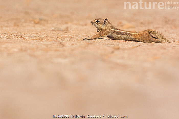 Barbary ground squirrel (Atlantoxerus getulus) stretching and yawning,  Fuerteventura, Canary Islands. Introduced from North Africa., ANIMAL,VERTEBRATE,MAMMAL,RODENT,BARBARY GROUND SQUIRREL,BARBARY GROUND SQUIRREL,ANIMALIA,ANIMAL,WILDLIFE,VERTEBRATE,MAMMALIA,MAMMAL,RODENTIA,RODENT,SCIURIDAE,ATLANTOXERUS,BARBARY GROUND SQUIRREL,ATLANTOXERUS GETULUS,BARBARY GROUND SQUIRREL,ATLANTOXERUS PRAETEXTUS,ATLANTOXERUS TRIVITTATUS,YAWNING,TIREDNESS,COPY SPACE,ATLANTIC ISLANDS,EXOTICS,ALIEN,ALIEN SPECIES,INTRODUCED SPECIES,NEGATIVE SPACE, Edwin  Giesbers