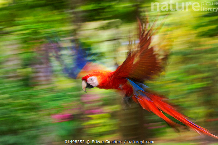 Scarlet macaw (Ara macao) flying, blurred motion. Costa Rica.  ,  high15,,Animal,Vertebrate,Bird,Birds,Parrot,True parrot,Macaw,Scarlet macaw,Animalia,Animal,Wildlife,Vertebrate,Aves,Bird,Birds,Psittaciformes,Parrot,Psittacines,Psittacidae,True parrot,Psittacoidea,Ara,Macaw,Neotropical parrots,Arini,Arinae,Ara macao,Scarlet macaw,Flying,Landing,Disorder,Disruption,Disturbance,Fear,Speed,Colour,Red,Nobody,Terrified,Terrify,Terror,Panic,Latin America,Central America,Costa Rica,Profile,Side View,Photographic Effect,Blurred Motion,Blurred Movement,Outdoors,Open Air,Outside,Day,Biodiversity hotspot,Flight,  ,  Edwin  Giesbers