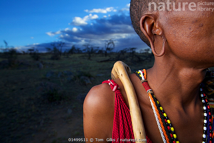 Close up of Maasai man's stretched earlobe, Mara region, Kenya, September 2013.  ,  PEOPLE,AFRICAN DESCENT,NATIVE AFRICAN ETHNICITY,MASAI,MASAIS,MALE,MAN,AFRICA,EAST AFRICA,KENYA,WIDE ANGLE,EAR,EARLOBE,EARLOBES,EARS,HUMAN EARS,CLOTHING,TRADITIONAL CLOTHING,LANDSCAPE,LANDSCAPES,OUTDOORS,OPEN AIR,OUTSIDE,CULTURE,INDIGENOUS CULTURE,TRIBES,MASAAI,BODY MODIFICATION,PIERCING,STRETCHING,EAR LOBE STRETCHING  ,  Tom  Gilks