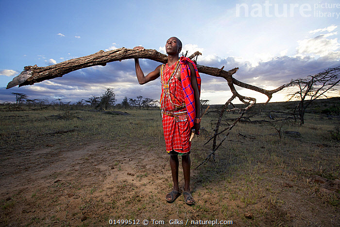 Maasai man collecting wood for fuel, Mara region, Kenya, September 2013.  ,  PEOPLE,AFRICAN DESCENT,NATIVE AFRICAN ETHNICITY,MASAI,MASAIS,MALE,MAN,AFRICA,EAST AFRICA,KENYA,VERTICAL,WIDE ANGLE,CLOTHING,TRADITIONAL CLOTHING,FOSSIL FUEL,FOSSIL FUELS,FUEL,FUELS,FIREWOOD,LANDSCAPE,LANDSCAPES,OUTDOORS,OPEN AIR,OUTSIDE,ENVIRONMENT,ENVIRONMENTAL ISSUES,POWER SUPPLY,CULTURE,INDIGENOUS CULTURE,ENERGY,TRIBES,MASAAI  ,  Tom  Gilks