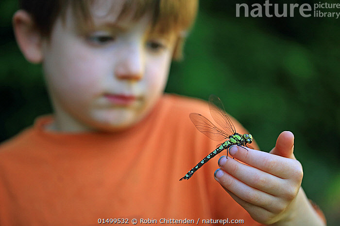 Young boy with female Southern hawker dragonfly (Aeshna cyanea) Norfolk, England, UK, June. Model released.  ,  ANIMAL,ARTHROPOD,INSECT,PTERYGOTA,HAWKER DRAGONFLY,SOUTHERN HAWKER,ANIMALIA,ANIMAL,WILDLIFE,HEXAPODA,ARTHROPOD,INVERTEBRATE,HEXAPOD,ARTHROPODA,INSECTA,INSECT,ODONATA,PTERYGOTA,AESHNIDAE,HAWKER DRAGONFLY,HAWKER,DARNER DRAGONFLY,DARNER,DRAGONFLY,ANISOPTERA,EPIPROCTA,AESHNA,MOSAIC DARNER,AESHNA CYANEA,SOUTHERN HAWKER,BLUE HAWKER,BLUE DARNER,LIBELLULA CYANEA,AESCHNA ATSHISCHGHO,LIBELLULA VARIA,PEOPLE,CHILD,MALE,CURIOSITY,EUROPE,WESTERN EUROPE,UK,GREAT BRITAIN,ENGLAND,NORFOLK,OUTDOORS,OPEN AIR,OUTSIDE,CHILDREN IN NATURE,ENDANGERED SPECIES,United Kingdom  ,  Robin Chittenden