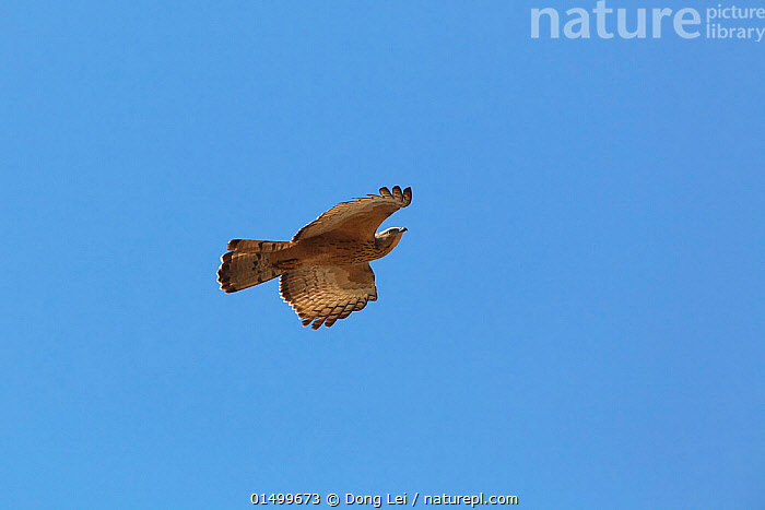 Oriental honey-buzzard (Pernis ptilorhynchus) in flight, Ruili County, Dehong Dai and Jingpo Autonomous Prefecture, Yunnan Province, China.  ,  ANIMAL,VERTEBRATE,BIRDS,BUZZARD,ORIENTAL HONEY BUZZARD,ANIMALIA,ANIMAL,WILDLIFE,VERTEBRATE,AVES,BIRDS,ACCIPITRIFORMES,ACCIPITRIDAE,PERNIS,BUZZARD,BIRD OF PREY,RAPTOR,PERNIS PTILORHYNCUS,ORIENTAL HONEY BUZZARD,EASTERN HONEY BUZZARD,CRESTED HONEY BUZZARD,FLYING,ASIA,EAST ASIA,CHINA,COLOURED BACKGROUND,BLUE BACKGROUND,COPY SPACE,CUTOUT,VERTICAL,FLIGHT,YUNNAN PROVINCE,NEGATIVE SPACE  ,  Dong Lei
