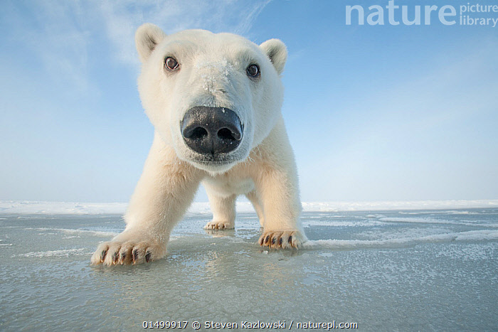 Polar bear (Ursus maritimus) curious young bear approaches over newly forming pack ice during autumn freeze up, Beaufort Sea, off Arctic coast, Alaska  ,  ANIMAL,VERTEBRATE,MAMMAL,CARNIVORE,BEAR,POLAR BEAR,AMERICAN,ANIMALIA,ANIMAL,WILDLIFE,VERTEBRATE,MAMMALIA,MAMMAL,CARNIVORA,CARNIVORE,URSIDAE,BEAR,URSUS,URSUS MARITIMUS,POLAR BEAR,URSUS LABRADORENSIS,URSUS MARINUS,URSUS POLARIS,WALKING,CURIOSITY,NORTH AMERICA,USA,WESTERN USA,ALASKA,ARCTIC,POLAR,VERTICAL,LOW ANGLE VIEW,PORTRAIT,YOUNG ANIMAL,JUVENILE,ANIMAL NOSE,ANIMAL NOSES,NOSE,NOSES,LOW ANGLE SHOT,AMERICAN,ENDANGERED SPECIES,THREATENED,VULNERABLE,,Personal Point of View,  ,  Steven Kazlowski