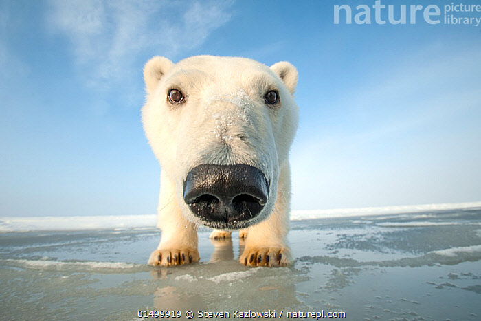 Polar bear (Ursus maritimus) curious young bear approaching camera, over newly forming pack ice during autumn freeze up, Beaufort Sea, off Arctic coast, Alaska  ,  high15,,Animal,Vertebrate,Mammal,Carnivore,Bear,Polar bear,American,Animalia,Animal,Wildlife,Vertebrate,Mammalia,Mammal,Carnivora,Carnivore,Ursidae,Bear,Ursus,Ursus maritimus,Polar bear,Ursus labradorensis,Ursus marinus,Ursus polaris,Curiosity,Nosy,Nosey,Nobody,Distorted,Distort,Distorting,North America,USA,Western USA,Alaska,Arctic,Polar,Vertical,Front View,View From Front,Low Angle View,Portrait,Young Animal,Juvenile,Animal Nose,Nose,Noses,Beach,Tide,Tides,Low Tide,Tide Out,Ice,Pack Ice,Ice Floes,Ocean,Arctic Ocean,Weather,Frost,Outdoors,Open Air,Outside,Day,Coast,Marine,Coastal,Water,Cold Weather,Saltwater,Direct Gaze,Negative space,Personal point of view,Beaufort Sea,Sea ice,American,Personal POV,United States of America,Endangered species,threatened,Vulnerable  ,  Steven Kazlowski