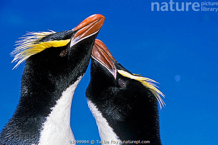 Erect-crested penguin (Eudyptes sclateri) pair in greeting display. Antipodes Island, New Zealand Sub-Antarctic Islands. Endemic to Antipodes and Bounty Islands. Endangered species., high15,,Animal,Vertebrate,Bird,Birds,Penguin,Big crested penguin,Animalia,Animal,Wildlife,Vertebrate,Aves,Bird,Birds,Sphenisciformes,Penguin,Seabird,Spheniscidae,Eudyptes,Eudyptes sclateri,Big crested penguin,Erect crested penguin,Rubbing,Rub,Greeting,Enjoyment,Enjoy,Enjoying,Pleasure,Colour,Yellow,Two,Nobody,Vibrant Colour,Affectionate,Affection,Coloured Background,Blue Background,Profile,Close Up,Side View,Beak,Beaks,Sky,Outdoors,Open Air,Outside,Day,Nature,Natural,Natural World,Endangered Species,Threatened,Animal Behaviour,Display,Male female pair,Behaviour,Endemic,Displaying,Crest,Subantarctic islands,Two animals,Blue sky,Devotion,Yellow Colour,Antipodes Island,Sub-antarctic New Zealand,Marine bird,Marine birds,Pelagic bird,Pelagic birds,Flightless,Endangered species,threatened,Endangered, Tui De Roy