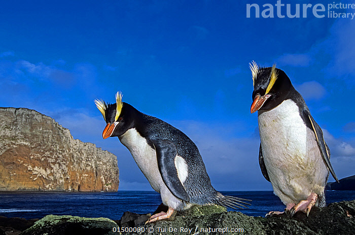 Erect-crested penguin (Eudyptes sclateri) pair. Antipodes Island, New Zealand Sub-Antarctic Islands. Endemic to Antipodes and Bounty Islands. Endangered species., high15,,Animal,Vertebrate,Bird,Birds,Penguin,Big crested penguin,Animalia,Animal,Wildlife,Vertebrate,Aves,Bird,Birds,Sphenisciformes,Penguin,Seabird,Spheniscidae,Eudyptes,Eudyptes sclateri,Big crested penguin,Erect crested penguin,Balance,Side By Side,Two,Nobody,Full Length,Full Lengths,Whole,Sky,Landscape,Landscapes,Outdoors,Open Air,Outside,Day,Nature,Natural,Natural World,Endangered Species,Threatened,Coast,Marine,Coastal waters,Coastal,Water,Habitat,Male female pair,Saltwater,Sea,Endemic,Subantarctic islands,Two animals,Blue sky,Bounty Islands,Bandit,Antipodes Island,Sub-antarctic New Zealand,Marine bird,Marine birds,Pelagic bird,Pelagic birds,Flightless,Endangered species,threatened,Endangered, Tui De Roy
