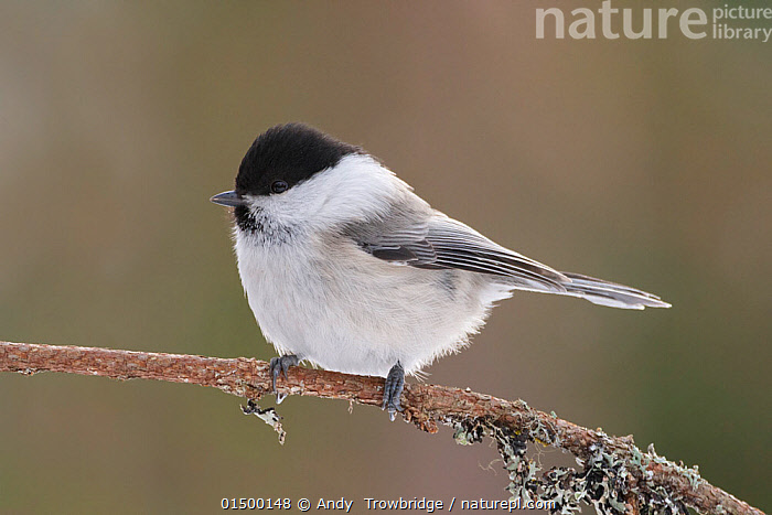 Willow tit (Poecile montanus) perched on branch. Kuusamo, Finland, March.  ,  ANIMAL,VERTEBRATE,BIRDS,SONGBIRD,TIT,WILLOW TIT,ANIMALIA,ANIMAL,WILDLIFE,VERTEBRATE,AVES,BIRDS,PASSERIFORMES,SONGBIRD,PASSERINE,PARIDAE,TIT,POECILE,POECILE MONTANUS,WILLOW TIT,PARUS MONTANUS,EUROPE,NORTHERN EUROPE,NORTH EUROPE,NORDIC COUNTRIES,FINLAND,PROFILE,SIDE VIEW,Scandinavia  ,  Andy  Trowbridge