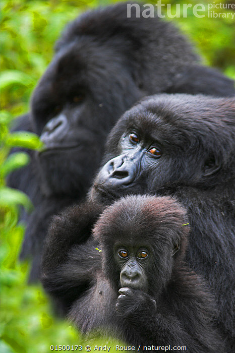 Mountain gorilla (Gorilla beringei beringei) mother with young, and silverback in background. Virunga Mountains, Rwanda. Non-ex.  ,  high15,,Animal,Vertebrate,Mammal,Ape,Gorilla,Mountain Gorilla,Animalia,Animal,Wildlife,Vertebrate,Mammalia,Mammal,Primate,Primates,Hominidae,Ape,Greater apes,Hominoidea,Gorilla,Gorilla beringei,Mountain Gorilla,Eastern Gorilla,Gorilla gorilla beringei,Sitting,Contrasts,Natural Science,Life Science,Biology,Evolution,Sadness,Togetherness,Close,Together,Colour,Black,Few,Three,Group,Nobody,Size,Africa,East Africa,Rwanda,Republic of Rwanda,Vertical,Close Up,Portrait,Young Animal,Juvenile,Babies,Male Animal,Hair,Fur,Outdoors,Open Air,Outside,Day,Family,Mother baby,Mother-baby,mother,Parent baby,Three Animals,Progression,Lined up,Animal Hair,Endangered species,threatened,Endangered,,Great apes,  ,  Andy  Rouse
