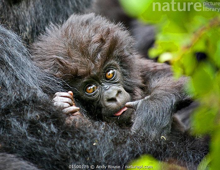 Mountain gorilla (Gorilla beringei) baby held by mother, Rwanda, high15,,Animal,Vertebrate,Mammal,Ape,Gorilla,Mountain Gorilla,Animalia,Animal,Wildlife,Vertebrate,Mammalia,Mammal,Primate,Primates,Hominidae,Ape,Greater apes,Hominoidea,Gorilla,Gorilla beringei,Mountain Gorilla,Eastern Gorilla,Gorilla gorilla beringei,Suck,Sucker,Suckers,Suck Thumb,Sucking Thumbs,Sucks Thumb,Thumb in Mouth,Colour,Brown,Two,Nobody,Fluffy,Africa,East Africa,Rwanda,Republic of Rwanda,Portrait,Young Animal,Juvenile,Babies,Hair,Fur,Brown Eyes,Brown Eye,Outdoors,Open Air,Outside,Day,Two animals,Direct Gaze,Brown Colour,Animal Hair,Endangered species,threatened,Endangered,,Great apes,, Andy  Rouse