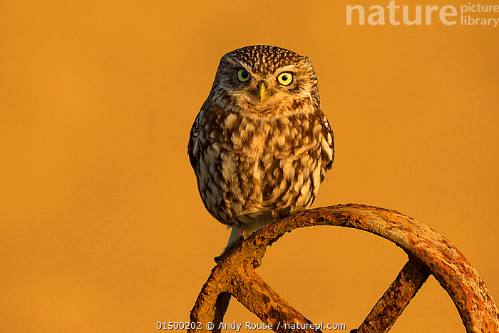 Little owl (Athene noctua) on old wheel, UK, April.  ,  high15,,Animal,Vertebrate,Bird,Birds,Owl,True owl,Little owl,Animalia,Animal,Wildlife,Vertebrate,Aves,Bird,Birds,Strigiformes,Owl,Bird of prey,Strigidae,True owl,Typical owl,Striginae,Athene,Athene noctua,Little owl,Cute,Adorable,Suspicion,Old,Rusty,Rust,Rusted,Rusting,Colour,Yellow,Nobody,Europe,Western Europe,UK,Coloured Background,Yellow Background,Copy Space,Vertical,Front View,View From Front,Portrait,Part Of Vehicle,Wheel,Wheels,Outdoors,Open Air,Outside,Day,Yellow Eyes,Direct Gaze,Negative space,Eye colour,Yellow Colour,  ,  Andy  Rouse