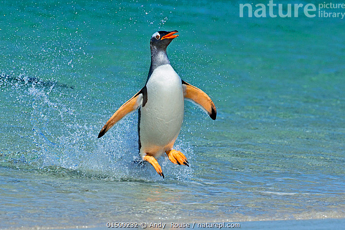 Gentoo penguin (Pygoscelis papua) jumping onto beach, Carcass Island, Falkland Islands., catalogue7,Animal,Vertebrate,Bird,Birds,Penguin,Gentoo penguin,Animalia,Animal,Wildlife,Vertebrate,Aves,Bird,Birds,Sphenisciformes,Penguin,Seabird,Spheniscidae,Pygoscelis,Pygoscelis papua,Gentoo penguin,Jumping,Hopping,Hop,Hops,Splashing,Agility,Agile,Surprise,Humorous,Colour,Blue,Turquoise,Aqua,Aqua Blue,Torquoise,Yellow,Mid Air,Nobody,Facial Expression,Full Length,Full Lengths,Whole,Vertical,Front View,View From Front,Beach,Water's Edge,Outdoors,Open Air,Outside,Day,Coast,Coastal,Water,Atlantic Islands,Water spray,Blue Colour,Carcass Island,Marine bird,Marine birds,Pelagic bird,Pelagic birds,Flightless, Andy  Rouse