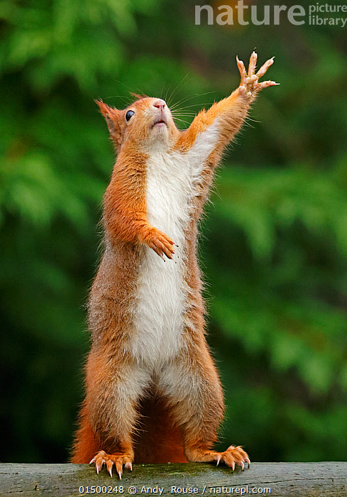Red squirrel (Sciurus vulgaris) reaching upwards, UK. Captive., high15,,Animal,Vertebrate,Mammal,Rodent,Squirrel,Eurasian Red Squirrel,Animalia,Animal,Wildlife,Vertebrate,Mammalia,Mammal,Rodentia,Rodent,Sciuridae,Sciurus,Squirrel,Sciurus vulgaris,Eurasian Red Squirrel,Red Squirrel,Sciurus fuscorubens,Sciurus nadymensis,Sciurus subalpinus,Sciurus talahutky,Gesturing,Hand Raised,Hands Raised,Raised Hand,Raised Hands,Waving,Reaching,Reach,Reaches,Standing,Balance,Effort,Exertion,Trying,Excitement,Eagerness,Enthusiasm,Enthusiastic,Excited,Humorous,Nobody,Europe,Western Europe,UK,Vertical,Animal Limbs,Limb,Animal Hands,Hand,Hands,Outdoors,Open Air,Outside,Day,Digits,Standing on hind legs,Ventral view,Underside,, Andy  Rouse