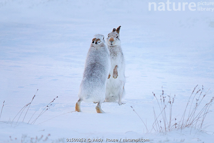 Mountain hares (Lepus timidus) boxing in snow, Scotland, UK, December., catalogue7,Animal,Vertebrate,Mammal,Lagomorph,Leporid,Hare,Mountain Hare,Animalia,Animal,Wildlife,Vertebrate,Mammalia,Mammal,Lagomorpha,Lagomorph,Leporidae,Leporid,Lepus,Hare,Lepus timidus,Mountain Hare,Standing,Courting,Camouflage,Confronting,Confronts,Intimidating,Face To Face,Face Each Other,Facing Each Other,Two,Nobody,Europe,Western Europe,UK,Great Britain,Scotland,Copy Space,Vertical,Snow,Outdoors,Open Air,Outside,Winter,Day,Animal Behaviour,Mating Behaviour,Courtship,Aggression,Fighting,Colour-phases,Winter coat,Behaviour,Standing on hind legs,Two animals,Negative space,Confrontational, Andy  Rouse