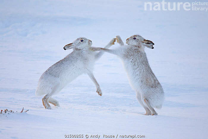 Mountain hares (Lepus timidus) boxing in snow, Scotland, UK, December., high15,,Animal,Vertebrate,Mammal,Lagomorph,Leporid,Hare,Mountain Hare,Animalia,Animal,Wildlife,Vertebrate,Mammalia,Mammal,Lagomorpha,Lagomorph,Leporidae,Leporid,Lepus,Hare,Lepus timidus,Mountain Hare,Hitting,Punching,Play Fight,Play Fights,Standing,Courting,Balance,Camouflage,Confronting,Confronts,Colour,White,Face To Face,Face Each Other,Facing Each Other,Two,Nobody,Europe,Western Europe,UK,Great Britain,Scotland,Snow,Outdoors,Open Air,Outside,Winter,Day,Boxing,Spar,Sparring,Spars,Animal Behaviour,Mating Behaviour,Courtship,Aggression,Fighting,Playing,Colour-phases,Winter coat,Behaviour,Play,Playful,Standing on hind legs,Two animals,White colour,, Andy  Rouse