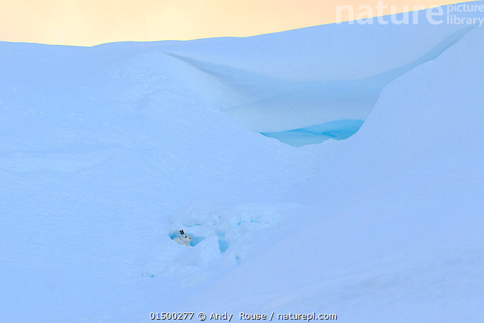 Mountain hare (Lepus timidus) in snow cave, Scotland, UK, December.  ,  ANIMAL,VERTEBRATE,MAMMAL,LAGOMORPH,LEPORID,HARE,ANIMALIA,ANIMAL,WILDLIFE,VERTEBRATE,MAMMALIA,MAMMAL,LAGOMORPHA,LAGOMORPH,LEPORIDAE,LEPORID,LEPUS,HARE,LEPUS TIMIDUS,MOUNTAIN HARE,SHELTERING,CAMOUFLAGE,COLOUR,WHITE,EUROPE,WESTERN EUROPE,UK,GREAT BRITAIN,SCOTLAND,COPY SPACE,VERTICAL,SNOW,WINTER,HABITAT,COLOUR PHASES,WINTER COAT,NEGATIVE SPACE,WHITE COLOUR,United Kingdom  ,  Andy  Rouse