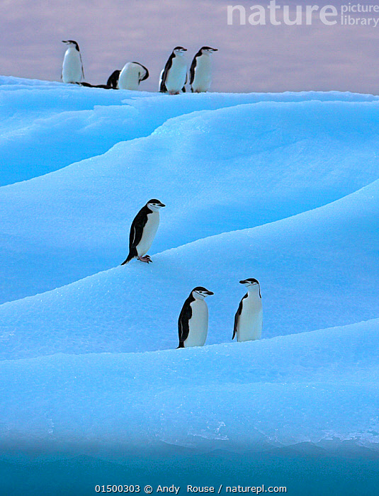 Chinstrap penguin (Pygoscelis antarcticus) group on blue iceberg, Antarctica, high15,,Animal,Vertebrate,Bird,Birds,Penguin,Chinstrap penguin,Animalia,Animal,Wildlife,Vertebrate,Aves,Bird,Birds,Sphenisciformes,Penguin,Seabird,Spheniscidae,Pygoscelis,Pygoscelis antarcticus,Chinstrap penguin,Bearded penguin,Ringed penguin,Pygoscelis antarctica,Waiting,Simplicity,Colour,Blue,Group,Medium Group,Nobody,Layered,Layer,Layers,Tier,Tiers,Tiered,Temperature,Cold,Antarctica,Antarctic,Polar,Vertical,Ice,Iceberg,Icebergs,Outdoors,Open Air,Outside,Day,Medium group of animals,Sea ice,Blue Colour,Marine bird,Marine birds,Pelagic bird,Pelagic birds,Flightless, Andy  Rouse