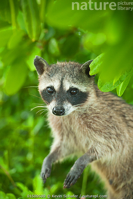 Pygmy Raccoon (Procyon pygmaeus) portrait, Cozumel Island, Mexico. Critically endangered endemic species., high15,,Animal,Vertebrate,Mammal,Carnivore,Racoon,Pygmy raccoon,Animalia,Animal,Wildlife,Vertebrate,Mammalia,Mammal,Carnivora,Carnivore,Procyonidae,Procyon,Racoon,Standing,Alertness,Alert,Caution,Cautious,Nobody,Latin America,Central America,Mexico,Vertical,Portrait,Island,Islands,Outdoors,Open Air,Outside,Day,Conservation,Endemic,Procyon pygmaeus,Pygmy raccoon,Standing on hind legs,Direct Gaze,Critically Endangered,Bandit,Cozumel Island,Native Species,Critically endangered,Endangered species,Threatened, Kevin  Schafer