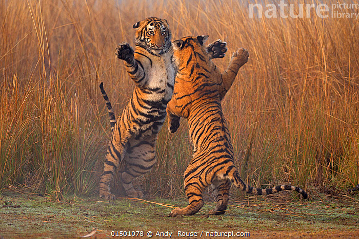 Bengal tiger (Panthera tigris tigris) 11 month old cubs play fighting, Ranthambhore National Park, India.  ,  ANDY ROUSE,INDIA,RANTHAMBHORE,BENGAL TIGER,TIGER,BIG CAT,YOUNG,PLAYING,HAVING FUN,FUN,MESSING AROUND,ACTION,ANIMAL,VERTEBRATE,MAMMAL,CARNIVORE,CAT,BIG CAT,TIGER,BENGAL TIGER,ANIMALIA,ANIMAL,WILDLIFE,VERTEBRATE,MAMMALIA,MAMMAL,CARNIVORA,CARNIVORE,FELIDAE,CAT,PANTHERA,BIG CAT,PANTHERA TIGRIS,TIGER,FELIS TIGRIS,TIGRIS STRIATUS,TIGRIS REGALIS,PLAY FIGHT,PLAY FIGHTS,SIBLING,SIBLINGS,ASIA,INDIAN SUBCONTINENT,INDIA,YOUNG ANIMAL,JUVENILE,GRASSLAND,ANIMAL BEHAVIOUR,AGGRESSION,FIGHTING,PLAYING,BENGAL TIGER,INDIAN TIGER,FAMILY,BEHAVIOUR,PLAY,PLAYFUL,ENDANGERED SPECIES,THREATENED,ENDANGERED,Communication  ,  Andy  Rouse