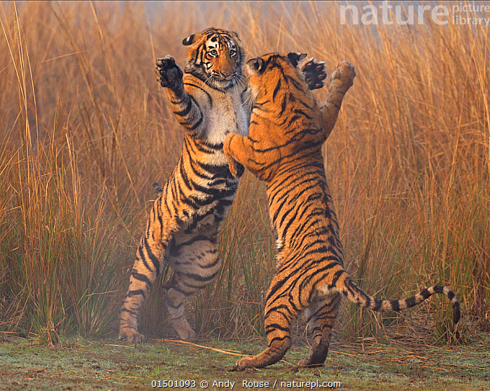 Bengal tiger (Panthera tigris tigris) 11 month cubs play fighting, Ranthambhore National Park, India., andy rouse;india;ranthambhore;bengal tiger;tiger;big cat;young;playing;having fun;fun;messing around;action high15,,Animal,Vertebrate,Mammal,Carnivore,Cat,Big cat,Tiger,Bengal tiger,Animalia,Animal,Wildlife,Vertebrate,Mammalia,Mammal,Carnivora,Carnivore,Felidae,Cat,Panthera,Big cat,Panthera tigris,Tiger,Felis tigris,Tigris striatus,Tigris regalis,Jumping,Playing,Play Fight,Play Fights,Standing,Sibling,Siblings,Energetic,Rivalry,Rival,Rivals,Face To Face,Face Each Other,Facing Each Other,Two,Nobody,Pattern,Patterned,Patterns,Asia,Indian Subcontinent,India,Young Animal,Juvenile,Outdoors,Open Air,Outside,Day,Grassland,Animal Behaviour,Aggression,Fighting,Bengal tiger,Indian tiger,Family,Behaviour,Play,Playful,Standing on hind legs,Two animals,Rajasthan,Animal marking,Ranthambore National Park,Messing About,Endangered species,threatened,Endangered, Andy  Rouse