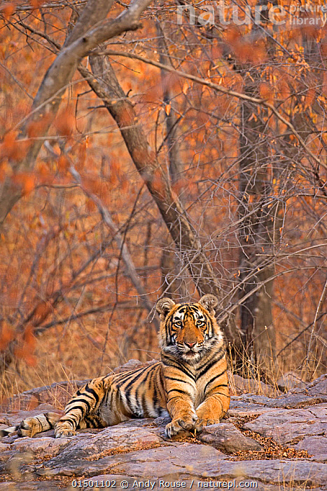 Bengal tiger (Panthera tigris tigris) 11 month cub in winter forest, Ranthambhore National Park, India., andy rouse;animal in habitat;autumn;bengal tiger;big cat;family;india;krishna;ranthambhore;tiger;winter;young high15,,Animal,Vertebrate,Mammal,Carnivore,Cat,Big cat,Tiger,Bengal tiger,Animalia,Animal,Wildlife,Vertebrate,Mammalia,Mammal,Carnivora,Carnivore,Felidae,Cat,Panthera,Big cat,Panthera tigris,Tiger,Felis tigris,Tigris striatus,Tigris regalis,Resting,Rest,Balance,Nobody,Asia,Indian Subcontinent,India,Young Animal,Juvenile,Babies,Baby Mammal,Cub,Plant,Branch,Branches,Rock,Outdoors,Open Air,Outside,Day,Forest,Bengal tiger,Indian tiger,Direct Gaze,Rajasthan,Ranthambore National Park,Endangered species,threatened,Endangered, Andy  Rouse