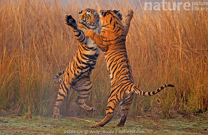 Bengal tiger (Panthera tigris tigris) 11 month cubs play fighting, Ranthambhore National Park, India., andy rouse;india;ranthambhore;bengal tiger;tiger;big cat;young;playing;having fun;fun;messing around;action high15,,Animal,Vertebrate,Mammal,Carnivore,Cat,Big cat,Tiger,Bengal tiger,Animalia,Animal,Wildlife,Vertebrate,Mammalia,Mammal,Carnivora,Carnivore,Felidae,Cat,Panthera,Big cat,Panthera tigris,Tiger,Felis tigris,Tigris striatus,Tigris regalis,Gesturing,Arms Raised,Jumping,Play Fight,Play Fights,Standing,Sibling,Siblings,Mid Air,Two,Nobody,Asia,Indian Subcontinent,India,Full Length,Full Lengths,Whole,Young Animal,Juvenile,Babies,Baby Mammal,Cub,Plant,Grass Family,Tall Grass,Long Grass,Tall Grasses,Grass,Grasses,Reflection,Outdoors,Open Air,Outside,Day,Grassland,Animal Behaviour,Aggression,Fighting,Playing,Bengal tiger,Indian tiger,Family,Behaviour,Play,Playful,Standing on hind legs,Two animals,Endangered species,threatened,Endangered, Andy  Rouse