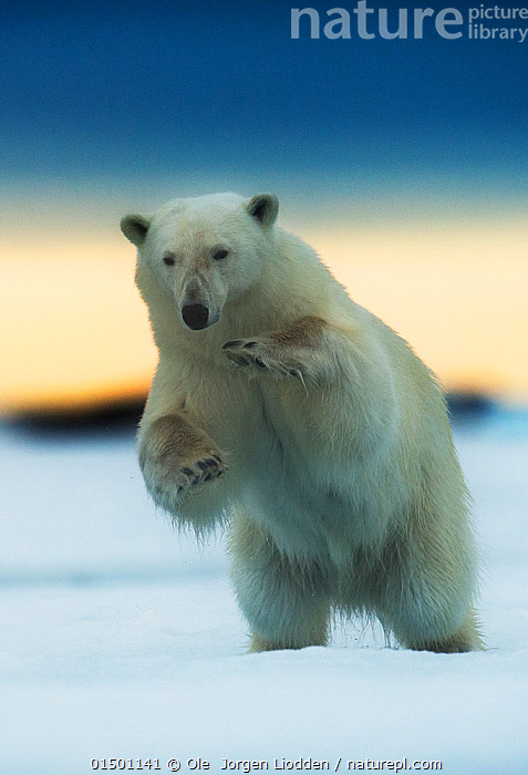 Polar bear (Ursus maritimus) pouncing, Svalbard, Norway, July., catalogue7,Animal,Vertebrate,Mammal,Carnivore,Bear,Polar bear,Animalia,Animal,Wildlife,Vertebrate,Mammalia,Mammal,Carnivora,Carnivore,Ursidae,Bear,Ursus,Ursus maritimus,Polar bear,Ursus labradorensis,Ursus marinus,Ursus polaris,Rearing Up,Standing,Balance,Focus,Nobody,Europe,Northern Europe,North Europe,Nordic Countries,Scandinavia,Norway,Svalbard,Arctic,Polar,Close Up,Front View,View From Front,Hair,Fur,Ice,Snow,Outdoors,Open Air,Outside,Day,Animal Behaviour,Predation,Hunting,Behaviour,Bookplate,Standing on hind legs,Focused,Svalbard Exposed,Pouncing,Pounces,Endangered species,threatened,Vulnerable, Ole  Jorgen Liodden