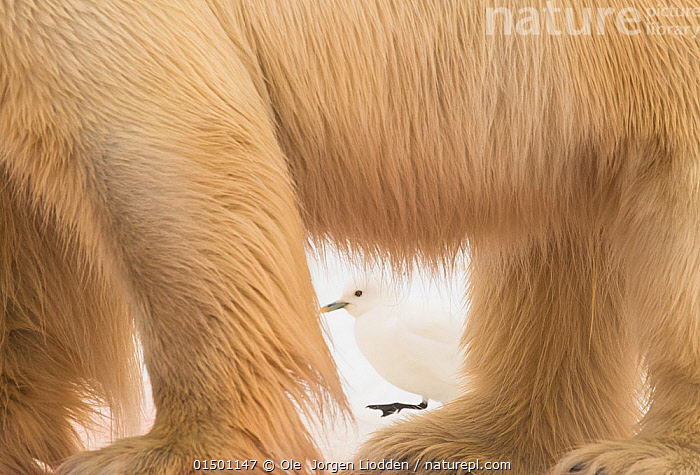 Ivory gull (Pagophila eburnea) behind Polar bear (Ursus maritimus), Svalbard, Norway, July.  ,  catalogue7,Animal,Vertebrate,Bird,Birds,Gull,Larinae,Ivory gull,Mammal,Carnivore,Bear,Polar bear,Animalia,Animal,Wildlife,Vertebrate,Aves,Bird,Birds,Charadriiformes,Laridae,Gull,Seabird,Pagophila,Larinae,Pagophila eburnea,Ivory gull,Larus eburnea,Larus eburneus,Pagophila alba,Mammalia,Mammal,Carnivora,Carnivore,Ursidae,Bear,Ursus,Ursus maritimus,Polar bear,Ursus labradorensis,Ursus marinus,Ursus polaris,Hiding,Bizarre,Weird,Contrasts,Disguise,Two,Nobody,Europe,Northern Europe,North Europe,Nordic Countries,Scandinavia,Norway,Svalbard,Arctic,Polar,Full Frame,Low Section,Low Sections,Profile,Close Up,Side View,Animal Limbs,Limb,Limbs,Animal Legs,Legs,Leg,Hair,Fur,Outdoors,Open Air,Outside,Day,Mixed species,Bookplate,Seagulls,Two animals,View Through,Svalbard Exposed,Endangered species,threatened,Vulnerable  ,  Ole  Jorgen Liodden
