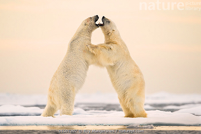 Polar bears (Ursus maritimus) courting on ocean ice north of Spitsbergen, Svalbard, Norway, July., Arktis;Bj�rner;Carnivora;Dyr;Europa;Isbj�rn;Natur;Norge;Pattedyr;Rovdyr;Svalbard;Svalbard exposed;Ursidae;Ursus maritimus high15,,Animal,Vertebrate,Mammal,Carnivore,Bear,Polar bear,Animalia,Animal,Wildlife,Vertebrate,Mammalia,Mammal,Carnivora,Carnivore,Ursidae,Bear,Ursus,Ursus maritimus,Polar bear,Ursus labradorensis,Ursus marinus,Ursus polaris,Arguing,Play Fight,Play Fights,Struggling,Standing,Courting,Rivalry,Rival,Rivals,Symmetry,Face To Face,Face Each Other,Facing Each Other,Two,Nobody,Europe,Northern Europe,North Europe,Nordic Countries,Scandinavia,Norway,Svalbard,Arctic,Polar,Mouth,Ice,Snow,Ocean,Outdoors,Open Air,Outside,Day,Marine,Water,Animal Behaviour,Mating Behaviour,Courtship,Aggression,Fighting,Playing,Behaviour,Saltwater,Play,Playful,Bookplate,Standing on hind legs,Two animals,Open Mouth,Svalbard Exposed,Spitsbergen,Endangered species,threatened,Vulnerable, Roy Mangersnes