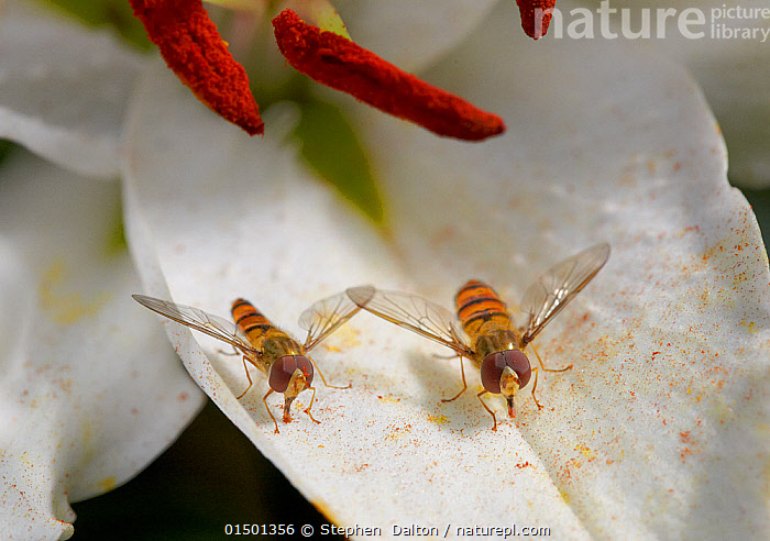 Marmalade hoverflies (Episyrphus balteatus) feeding on fallen lily pollen, England, UK. August., Animal,Arthropod,Insect,True fly,Hoverfly,Marmalade hoverfly,Animalia,Animal,Wildlife,Hexapoda,Arthropod,Invertebrate,Hexapod,Arthropoda,Insecta,Insect,Diptera,True fly,Fly,Syrphidae,Hoverfly,Hover fly,Flower fly,Syrphid fly,Syrphoidea,Muscomorpha,Brachycera,Episyrphus,Episyrphus balteatus,Marmalade hoverfly,Migrant hover fly,Syrphus balteatus,Musca scitulus,Epistrophe balteata,Plant,Flower,Cut Flower,Cut Flowers,Cutflower,Cutflowers,Feeding,Europe,,Hoverfly,, Stephen  Dalton