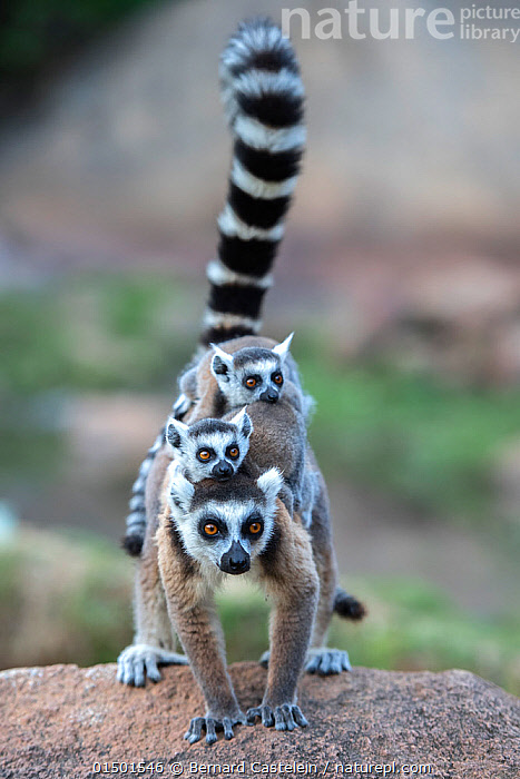 Ring-tailed lemur (Lemur catta) female carrying two babies. Anjaha Community Conservation Site, near Ambalavao, Madagascar., Lemur catta;Ring-tailed Llemur;twins high15,,Animal,Vertebrate,Mammal,Lemur,Ring-tailed lemur,Animalia,Animal,Wildlife,Vertebrate,Mammalia,Mammal,Primate,Primates,Lemuridae,Lemur,Prosimians,Lemur catta,Ring-tailed lemur,Maki mococo,Carries,Carry,Alertness,Alert,Balance,Adorable,Humorous,Togetherness,Close,Together,Stack,Close To,Few,Three,Group,Nobody,Pattern,Patterned,Patterns,Stripes,Africa,Madagascar,Malagasy Republic,Republic of Madagascar,Vertical,Front View,View From Front,Young Animal,Juvenile,Babies,Outdoors,Open Air,Outside,Family,Mother baby,Mother-baby,mother,Biodiversity hotspots,Biodiversity hotspot,Direct Gaze,Parent baby,Three Animals,Carrying on back,Bandit,Anjaha Community Conservation Site,, Bernard Castelein