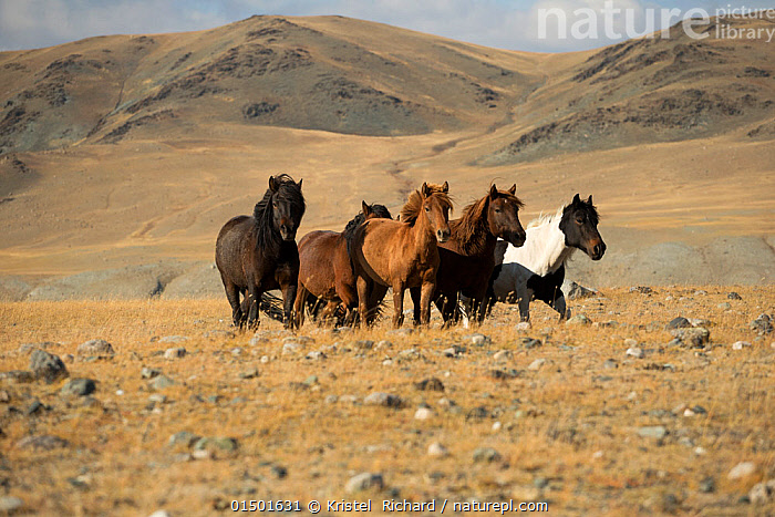 Band of wild Mongolian horses running on plains at the foot of Dungurukh Uul mountain, near the border with China and Kazakhstan, Bayan-Olgiy aymag, Mongolia. September.  ,  high15,,Equus ferus caballus,Equus caballus,Running,Gang,Gang Member,Gang Members,Gangs,On The Move,Togetherness,Close,Together,Unity,Variation,Colour,Brown,Group Of Animals,Herd,Herds,Group,Medium Group,Nobody,Asia,East Asia,Mongolia,Independent Mongolia,Outer Mongolia,Animal,Hill,Hills,Hillside,Hillsides,Plain,Plains,Outdoors,Open Air,Outside,Day,Nature,Natural,Natural World,Wildlife,Wild,Animals In The Wild,Animal In The Wild,Wild Animal,Wild Animals,Domestic animal,Domestic Horse,Mongolian Horse,Equus ferus caballus,Equus caballus,Horse,Medium group of animals,Moving,Hues,Brown Colour,Dungurukh Uul,Bayan-Olgii,Foothill,  ,  Kristel  Richard